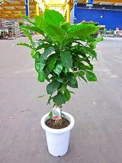コーヒーの木 7号鉢(7寸鉢)深い緑色のツヤツヤした葉っぱが特徴の美しい観葉植物です。きれいな緑がインテリアにもよく映え大変人気のありますので、プレゼントや贈り物にも最適です。