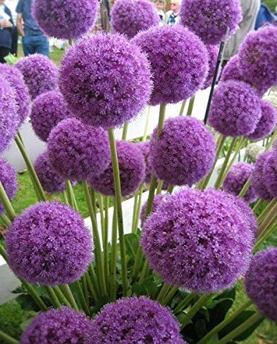 AIMADO Samen-10 Stück Allium giganteum Zierlauch winterhart, mehrjährigen Blütenkugel Samen geeignet für Garten Terrasse