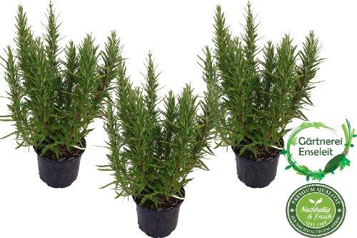 3 Rosmarin Pflanzen im 12 cm Topf - Rosmarinus officinalis, Rosmarin, Marktfrisch