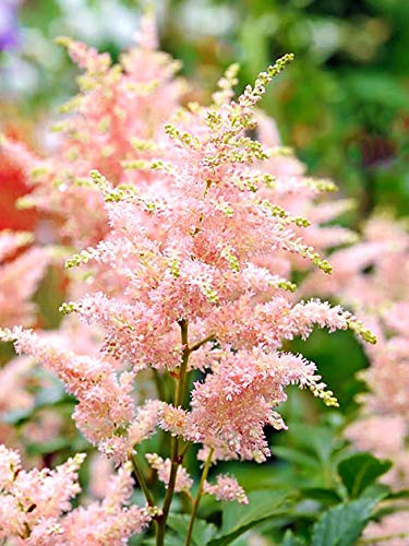15x Astilbe 'Astilbe peach blossom' - Blumenzwiebeln aus Holland - 100% Blühgarantie - Farbe: rosa - Höhe 60-85 cm