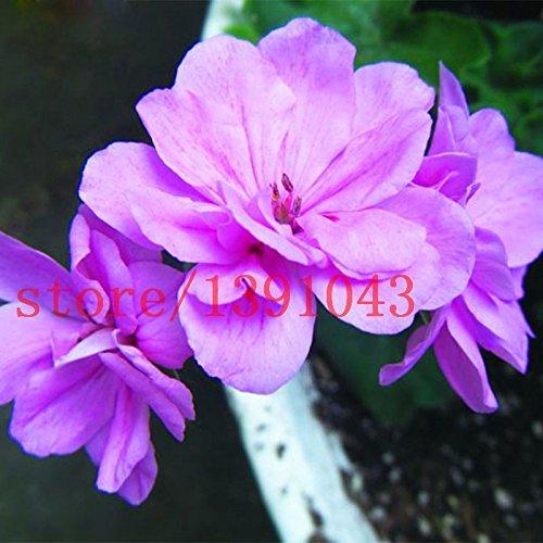 100 Stück lila Geranie Samen Univalve...