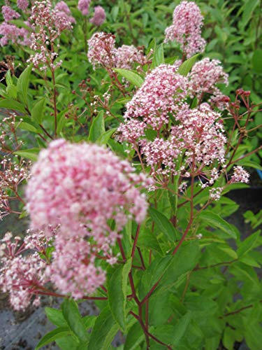 Säckelblume Marie Rose (R) - Ceanothus...
