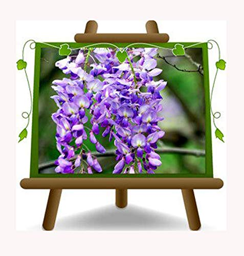 Wisteria Wisteria Sinensis Prolific - Lila Glyzinien - Flieder - Kletterpflanze - pflanze auf Blumentopf 18 - maximale Größe 200 cm