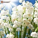 Weiß Maiglöckchen Blumen Convallaria Knabenkraut Samen Reiches Aroma 100Samen