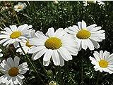 2014 nuovi semi di piretro dalmata 200 pezzi, primavera estate autunno fiore come ornamentale anche come antielmintico medico