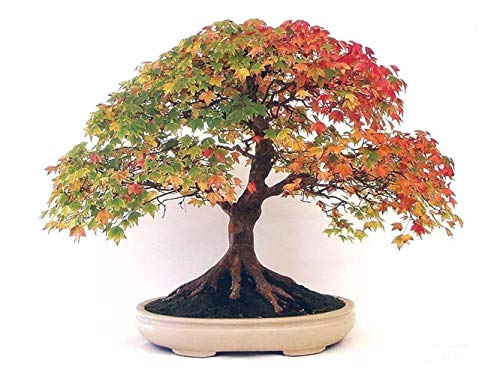 20Pcs Red Maple Tree Seeds Japanese Maple Bonsai Seeds Garden Bonsai Beautiful Indoor Potting Plant