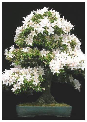Tropica Lot de 30 graines de bonsaï cerisier de Sainte-Lucie (Prunus mahaleb)