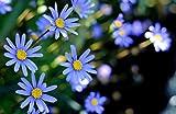 Gänzeblümchen blau 30 Samen, Kapastern Samen (Felicia)