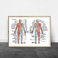 人間の骨と筋肉系の教訓的なボードは医学教育ポスターを印刷します人体解剖学スケルトンアート医療絵画/ 50x70cm(フレームなし)
