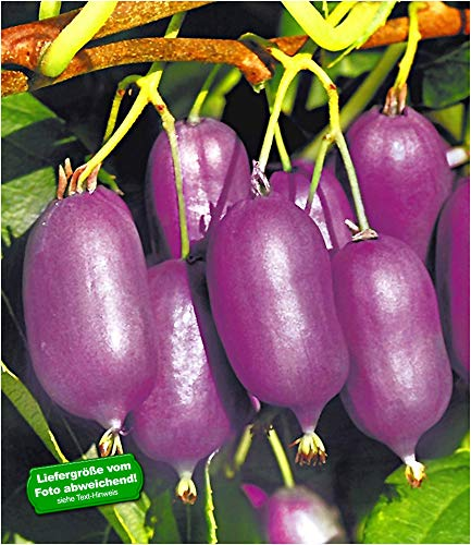 BALDUR-Garten Kiwi Ken's Red® (inkl. Befruchter) 2 Pflanzen Actinidia arguta Kiwipflanze winterhart