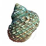 TL TONGLING Conchas Concha Natural Shell Green Turban Snail Grande Verde Snail Fish Tanque Aquaration Decoración Paisaje Roll Shell
