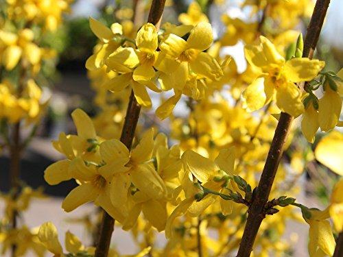 Goldglöckchen - Forsythie 'Lynwood' - Laubgehölze - Forsythia intermedia Lynwood - Containerware 60-100 cm - Garten von Ehren®