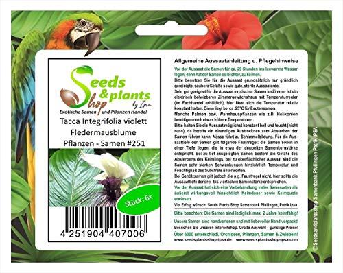 Stk - 6x Tacca Integrifolia violett Fledermausblume Pflanzen - Samen #251 - Seeds Plants Shop Samenbank Pfullingen Patrik Ipsa