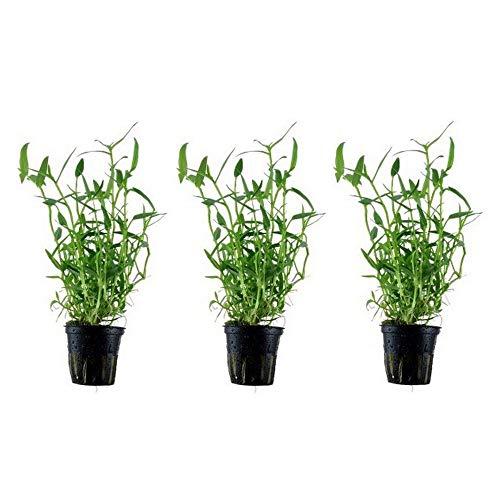 Aquariumpflanze 3 Stück Wasserpflanzen Murdannia keisak Bambus Nr.135 Aquariumpflanzen Set