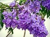 Mimosifolia JACARANDA - 60 semillas del árbol Bonsai - - SOW TODO EL AÑO
