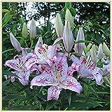 Zwiebeln Baumlilien Lilien Riesenlilie/Blumengesteckpflanzen in Vasen mit schönen Farben-6knolle