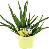 Planta Aloe vera 'dulce', tipo Aloe vera...