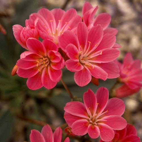 Plant World Seeds - Lewisia Cotyledon Ruby Red Seeds