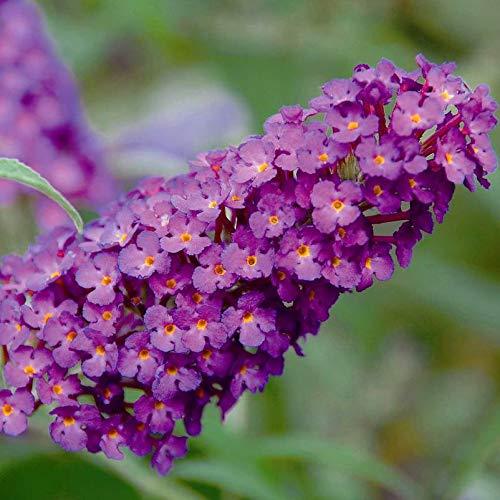 Kölle\'s Beste! Zwerg-Schmetterlingsstrauch, Buddleja davidii Buzz™ \'Pink Purple\'(s), Rotviolett, Topf