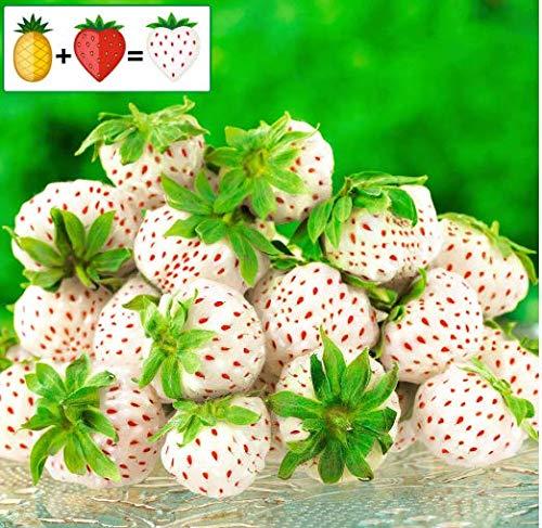 Tomasa Samenhaus- 100 Stück Bio- Erdbeerpflanze Ananas-Erdbeere Pineberry,zuckersüss Obst Saatgut Raritäten großfruchtig Erdbeere Kletternpflanzen winterhart mehrjährig für Balkon und Garten
