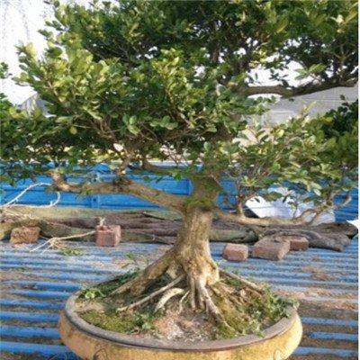 50pcs jardin des plantes Bonsai buis Graines Insectifuge un bon choix pour les familles Absorber Formaldéhyde mini-pot Arbre