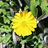 Benoon Semillas De Caléndula, 50 Piezas/Bolsa Semillas De Caléndula Hermosas Semillas Amarillas Fantásticas Excelentes Para Hacer Semillas De Caléndula Al Aire Libre Semillas de caléndula