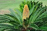 zumari 55pcs graines de palmier sagou (Cycas Revoluta)