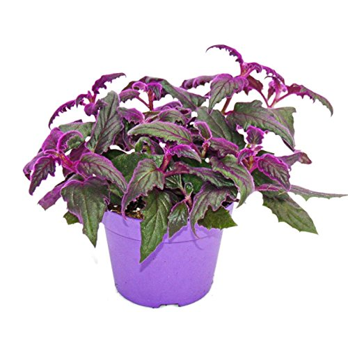 Gynura Purple Passion - Samtblatt - Samtnessel - lilafarbene Pflanze