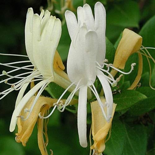 Geissblatt Caprifolium (Lonicera) Kletterpflanzen: Weiß & Winterhart - ClematisOnline Kletterpflanzen & Blumen