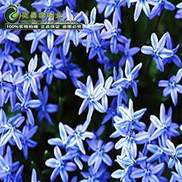 VISTARIC Plum: 2016 nouveau Berserk Promotion Spéciale Balcon Pot rouge Rare blanc Petunia Graines de fleurs Les plantes à fleurs 50 particules/lot