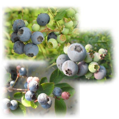 ブルーベリー:サザンハイブッシュ系人気受粉樹3種セット4〜5号苗(オニール、サンシャインブルー、ミスティー)