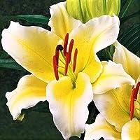 百合球根,歴史的な鉢植えの香りのよい植物の花の球根の庭の風景,それは笑う、あなたは幸せです,その独特な花とその花のスタイルと色のために多くのファッショナブルな若者に人気があります-12 球根,C