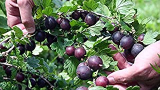 Black Velvet Gooseberry Bush - Eat Fresh or Baked - 2.5