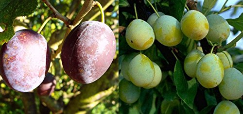 Duo Pflaume Obstbaum Pflaumenbaum Hauszwetsche Nancy Mirabelle 100-150 cm im Topf