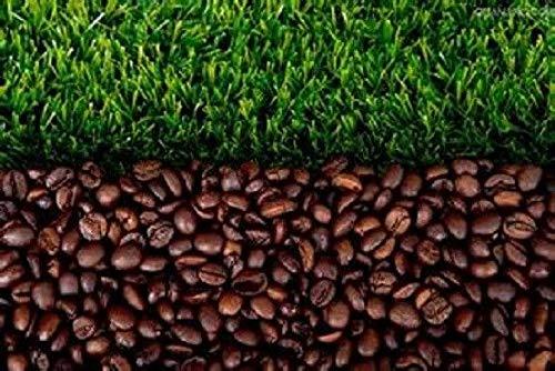 ScoutSeed COMPRAR 3 OBTENER 2 semillas GRATUITAS de café en grano 20 piezas de café verde semillas de alimentos