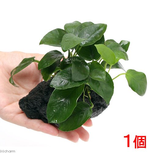 (水草)巻きたて アヌビアスナナ付 溶岩石 S(7~10cm)(1個)