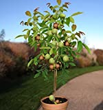 Echter Walnussbaum juglans regia Jungbaum Größe ca. 150-160 cm.