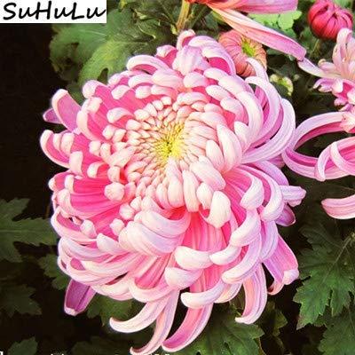 Bloom Green Co. Japonais rare couleur arc-en-fleur de chrysanthème Bonsai d'ornement Bonsai Nouveau jardin de fleurs de chrysanthème en pot Plante 100 pcs: 10