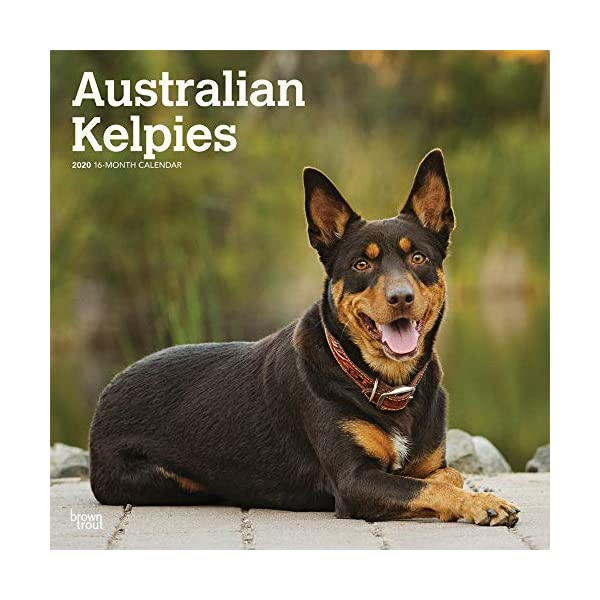 Australian Kelpies 2020 12 x 12 Inch Monthly Square Wall Calendar, Animal Dog Breeds (English, Spanish and French Edition) 1