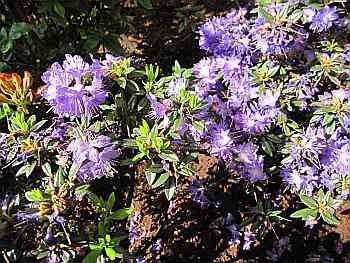 Rhododendron russatum Gletschernacht - Blaue Zwergalpenrose