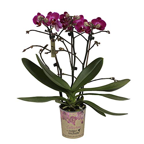 Phalaenopsis | Schmetterlingsorchidee | Lila Blüte | Höhe 35-40 cm | Topf-Ø 9 cm