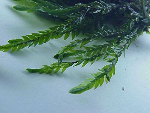 Willow Moss - Fontinalis antipyretica - Live Aquatic Plant
