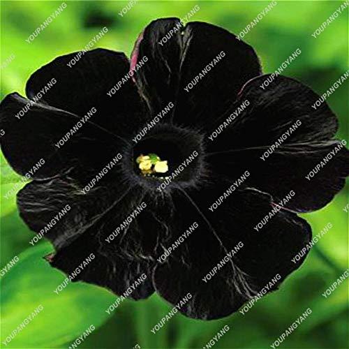 Kalash Nueva 100pcs petunia colgante de semillas de la gloria de mañana para jardinería negro