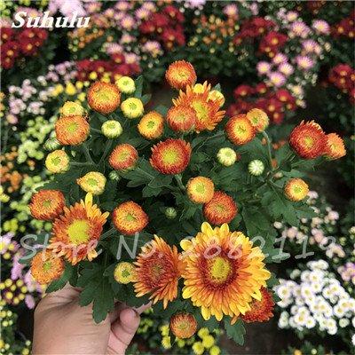 120 pcs graines graines de fleurs Daisy strawberry marguerite, fleurs de saison graines chrysanthème, Bonasi beau balcon fleuri coloré 17