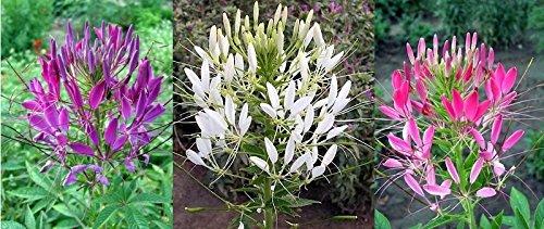 Spinnenblume Mischung - Cleome hassleriana - Blume - 100 Samen