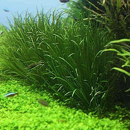 OrinocoPlants Blyxa Japonica