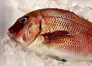 真鯛 活き締め 約2kg 刺身用 生食用 【 小田原港 より 即日発送 うまいもの市場 活〆シリーズ 】 鮮度重視、旨味が違います 【冷蔵便】