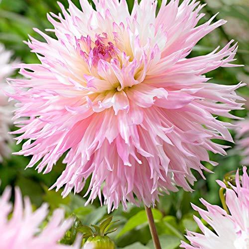 3x Dahlia'Nadia Ruth'   Bulbi di Dahlia rosa   Bulbi a fioritura estiva   Fiori da balcone e...