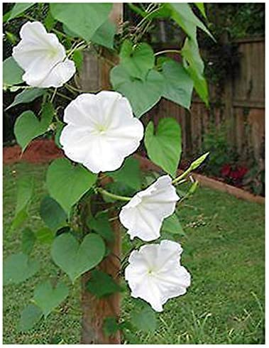 Amazon Com Fragrant White Evening Blooming Vine Seeds Climbing Vine Up To 15 Patio Lawn Garden