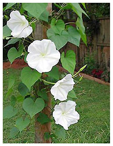 Fragrant White Evening Blooming Vine Seeds - Climbing Vine Up to 15'